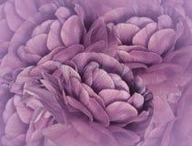 Fond rose floral Un bouquet des fleurs pourprées Plan rapproché collage floral Composition de fleur Image stock