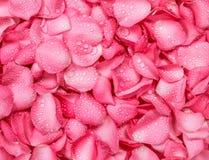 fond rose frais de pétale de rose avec la baisse de pluie de l'eau Photo stock
