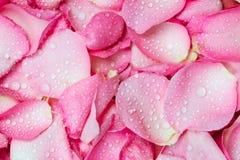 fond rose frais de pétale de rose avec la baisse de pluie de l'eau Photos stock
