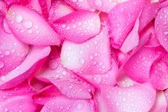 fond rose frais de pétale de rose avec la baisse de pluie de l'eau Images libres de droits
