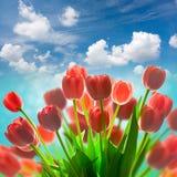 Fond rouge étonnant de vacances de tulipes contre le ciel bleu Photo libre de droits