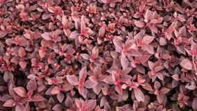 Fond rouge abstrait de texture de feuille avec l'effet de peinture à l'huile Images stock