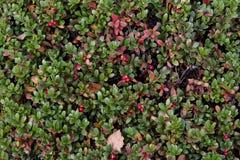 Fond rouge de baies Image libre de droits