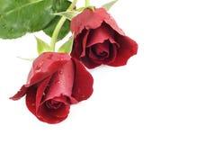 Fond rouge de blanc de deux roses Photographie stock