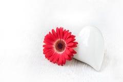 Fond rouge de blanc de Gerbera Photographie stock