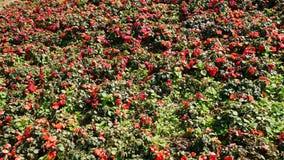 Fond rouge de fleur Photos libres de droits
