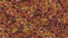 Fond rouge de légumes-feuilles de salade Consommation saine Image libre de droits