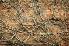 Fond rouge de mur de briques et usines sèches de lierre Image libre de droits