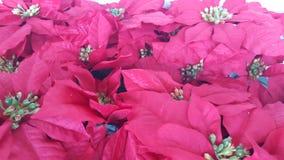 Fond rouge de Noël de poinsettia Photo stock