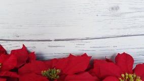 Fond rouge de Noël de poinsettia Photos libres de droits