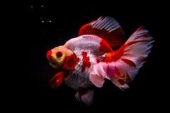 Fond rouge de noir de poissons beau Photographie stock libre de droits