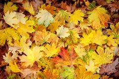 Fond rouge et jaune de feuilles d'automne Image stock