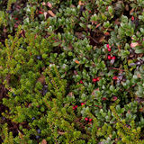 Fond rouge et noir de baies Photos stock