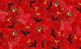 Fond rouge floral des fleurs du hippeastrum Papier peint floral Images stock
