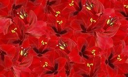 Fond rouge floral des fleurs du hippeastrum Papier peint floral Photo stock