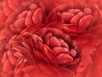 fond rouge floral Un bouquet des fleurs rouges Plan rapproché collage floral Composition de fleur Images stock