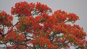 fond royal rouge de bourgeon floraux de poinciana en ressort d'été Images libres de droits