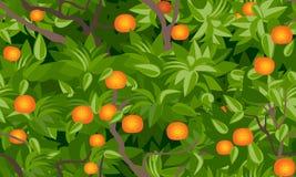 Fond sans joint de feuillage d'arbre de mandarine Photographie stock