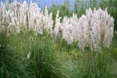 Fond sauvage de fleur de savana de transitoire de Poaceae photographie stock libre de droits
