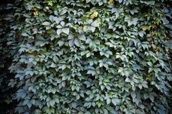 Fond sauvage de mur de vert de raisin Image stock