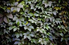 Fond sauvage de mur de vert de raisin Photographie stock libre de droits