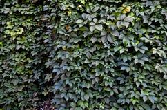 Fond sauvage de mur de vert de raisin Images stock