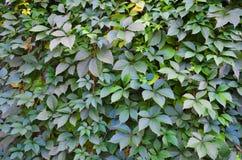 Fond sauvage de mur de vert de raisin Photos libres de droits