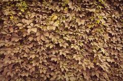 Fond sauvage de mur de vert de raisin Photos stock