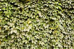 Fond sauvage de mur de vert de raisin Photographie stock