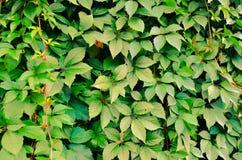 Fond sauvage de mur de vert de raisin Photo libre de droits