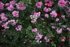Fond sauvage de roses Images stock