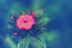 Fond sensible avec l'oeillet de fleur Photos libres de droits