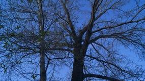 Fond, silhouette d'un arbre embranché contre un ciel bleu au printemps image stock