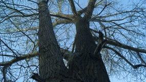 Fond, silhouette d'un arbre embranché contre un ciel bleu au printemps photos libres de droits