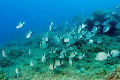 Fond sous-marin rocheux avec des poissons de daurade, la mer Méditerranée, Costa Brava, Catalogne, Espagne image stock