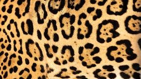 Fond sous tension réel de texture de fourrure de peau de jaguar Image stock