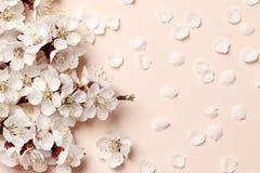 Fond, texture et papier peint floraux de ressort Plat-configuration des fleurs blanches de fleur d'amande au-dessus du fond rose- images stock