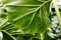 Fond tropical de texture de feuille, rayures de feuillage vert-foncé Photo libre de droits