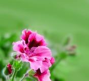 Fond trouble de source avec les fleurs roses Image libre de droits