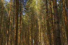 Fond - une forêt de pins photographie stock