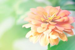Fond Unfocused de fleur de Zinnia de tache floue photos libres de droits