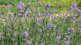 Fond végétatif des usines de floraison Photos libres de droits