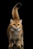 Fond velu de Cat Gold Chinchilla Isolated Black de race des Anglais Image libre de droits