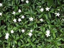 Fond vert avec les fleurs blanches Image libre de droits