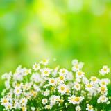 Fond vert clair d'été avec des fleurs de marguerites Images stock