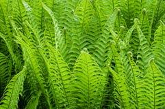 Fond vert clair de suffisance de buisson de fougère Image stock