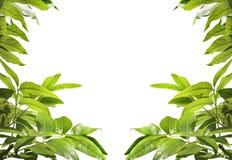 Fond vert clair frais de congé d'arbre sur le blanc Images stock
