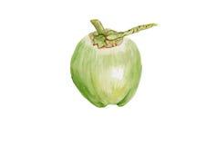 Fond vert d'aquarelle d'illustrations de noix de coco Image libre de droits