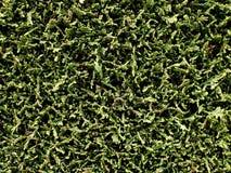 Fond vert de barrière de haie de thuja Photo stock