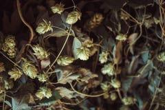 Fond vert de bosquets d'houblon image libre de droits